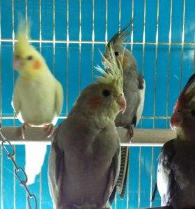 Продаються попугаи карелл