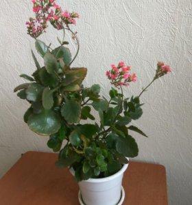 Лечебный цветок Каланхое, красиво цветет