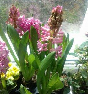 Цветы гиацинты (розовые)