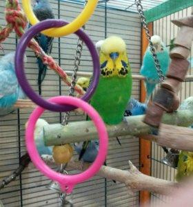 Выставлчные волнистые попугаи