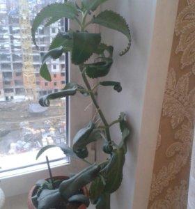 Цветок Каланхое лечебный с детками