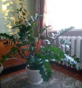 Комнатное растение замиакулкас.