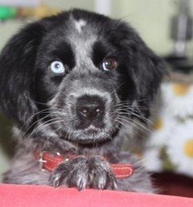 Продам щенка 3 мес. русского кокер-спаниеля