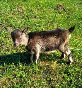 Продаются козлята 2-х месячные цена за одного