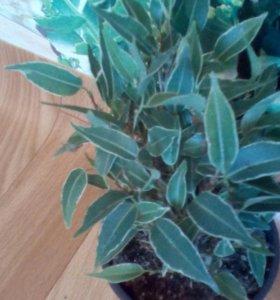 Антуриумы,фикусы,фуксии и др.комнатные цветы