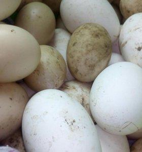 Продаю яйца гусиные и индо-утиные