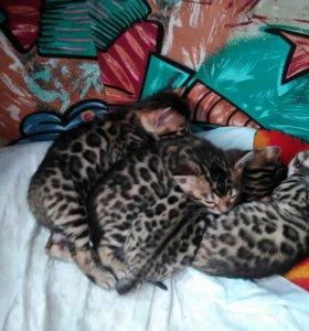 Бенгальские котята с родословной