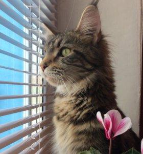 Кошка мейн-кун ищет кота