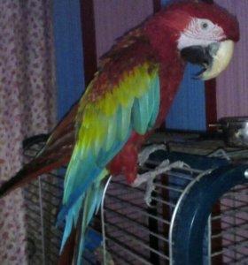 Попугай Ара говорит много,поет,мальчик