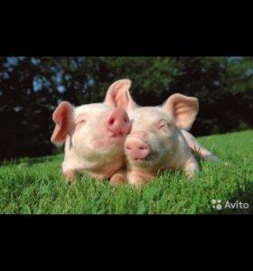 Свиньи домашние
