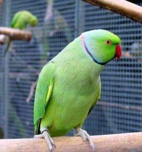 Продам крупного попугая