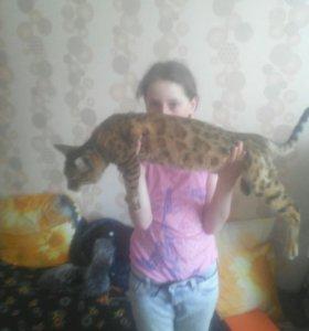Кошка 10 месяцев бенгальская