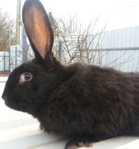 Крольчата Чёрный великан