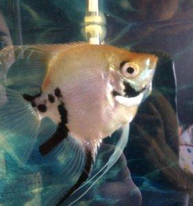 Рыбка скалярия