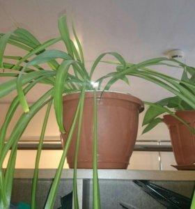 Комнатное растение-Хлорофитум