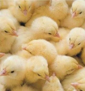 Цыплята и индюшата.