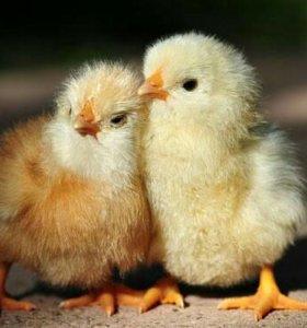 Цыплята & индюшата