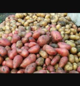 Картофель. Самовывоз