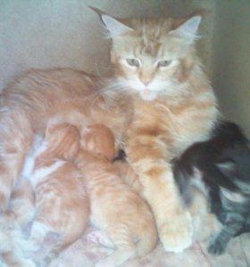 Котята от кошки мэйн кун