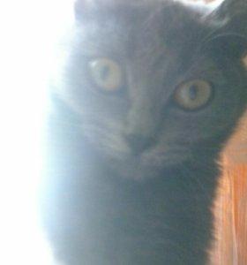 Кошка порода шартрез