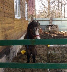 Норвежский Пони . Возраст 5 лет.