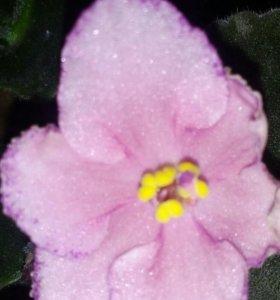Фиалка на цвету+ подарочки))))