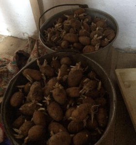 Продаётся два ведра семенной проросшей картошки 🥔
