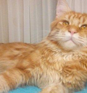 Вязка.Кот мейн-кун.