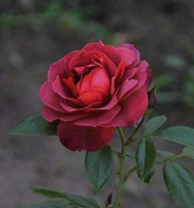 Роза Hot chocolate