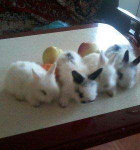 Декоративные ангорские кролики