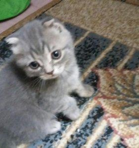 Продается вислоухий котик