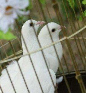 Выпуск белых голубей