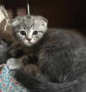 Шотландский-вислоухий котёнок