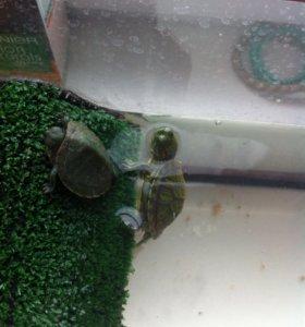 красноухую черепаху