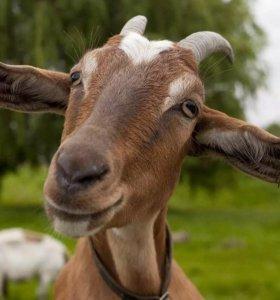 Продам козу и козлят. От зааненской породы