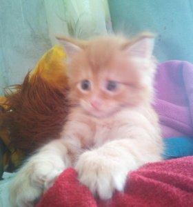 Котенок мейн-куна