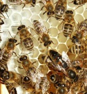 Пчеломатки из Ростовской области