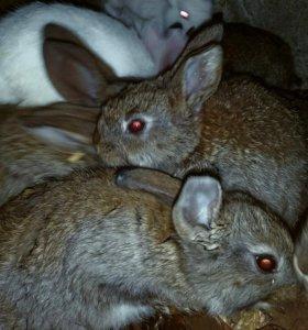 Продам кроликов разных возврастов