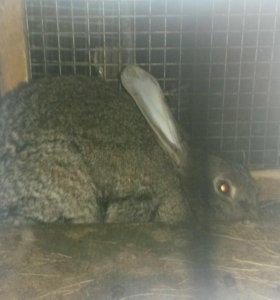 Кролики самочки