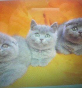 5 котят британских и шотландских вислоухих