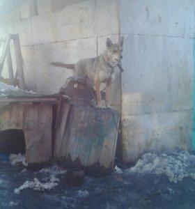 Собака Камета