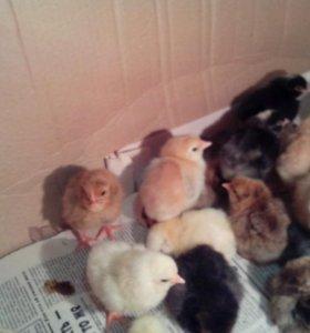 цыплята(несушки)