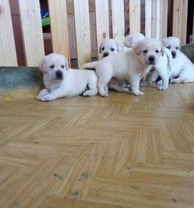 Лабрадор щенки
