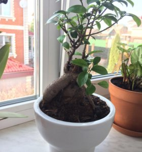 Фикус микрокарпа (бонсай), комнатные растения