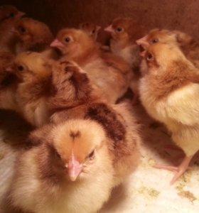 Цыплята породистые