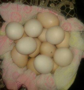 Яйца бойцовых кур