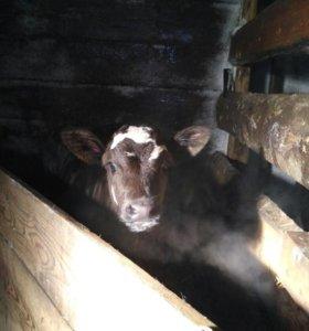 Телята от высокоудойных коров.