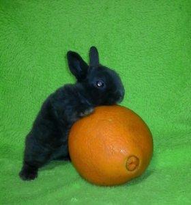 Крольчата карликовые Рексы