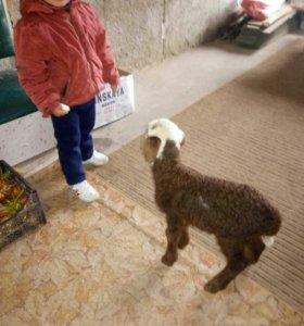 Отара овец(курдючные)МАТКИ