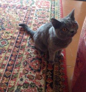 Кошка (британец)ищет мужчину